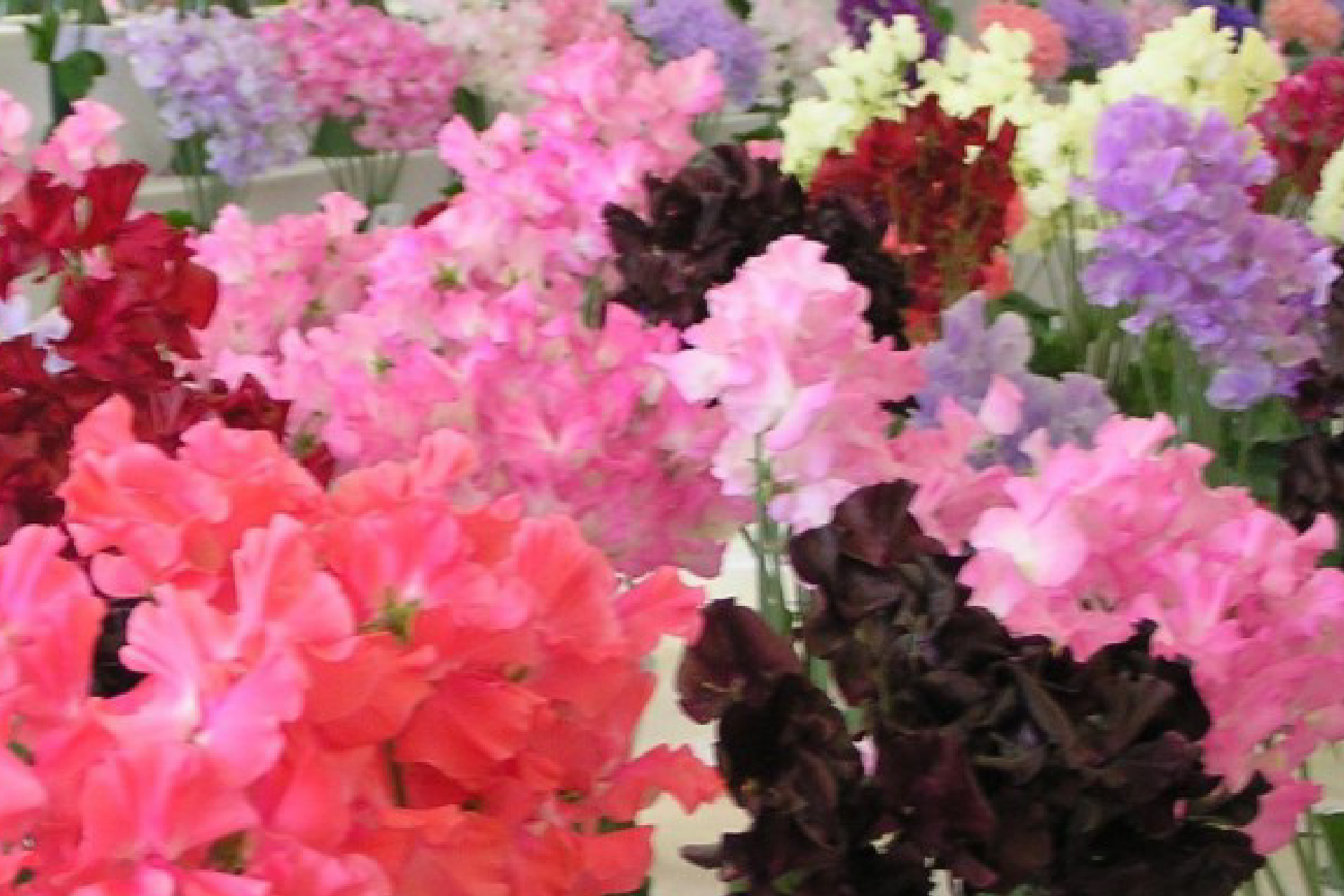 The National Sweet Pea Society
